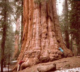 рейтинг самых больших деревьев
